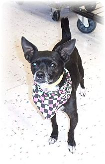 Boston Terrier/Chihuahua Mix Dog for adoption in Las Vegas, Nevada - Pee Wee