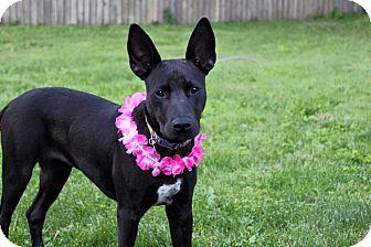 Terrier (Unknown Type, Medium)/Labrador Retriever Mix Puppy for adoption in Salamanca, New York - Lola