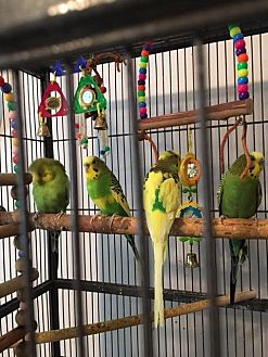 Budgie for adoption in St. Louis, Missouri - Dancer, Dash, Dodger and Duke