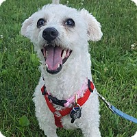 Adopt A Pet :: Chloe - Bloomington, IL