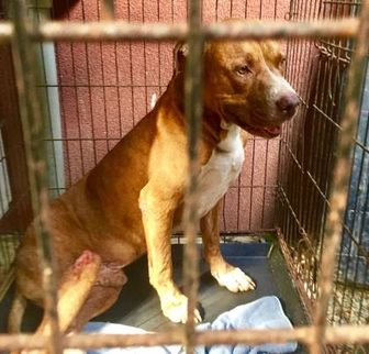 American Pit Bull Terrier Mix Dog for adoption in St. Thomas, Virgin Islands - SCHAEFER