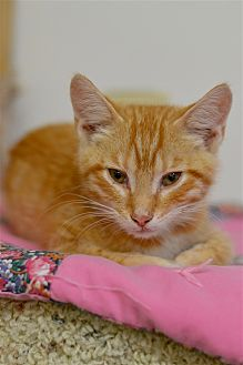 Domestic Shorthair Kitten for adoption in Delaware, Ohio - Gayle