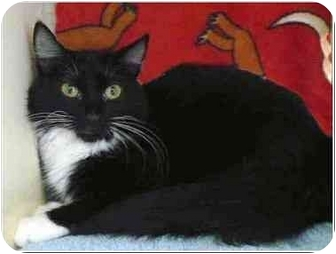 Domestic Mediumhair Kitten for adoption in San Clemente, California - CHICKA