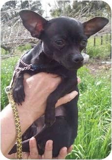 Chihuahua Dog for adoption in Sacramento, California - Sonic