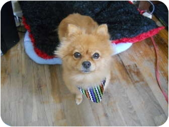 Pomeranian Dog for adoption in Anderson, Indiana - Foxy