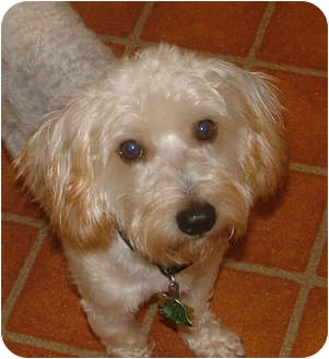 Yorkie, Yorkshire Terrier/Dachshund Mix Dog for adoption in Salem, New Hampshire - Adrian