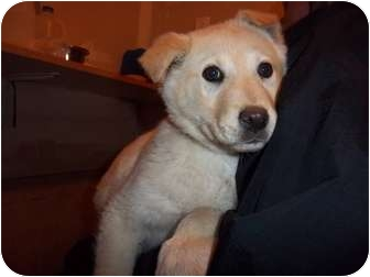Golden Retriever Mix Puppy for adoption in Westminster, Colorado - Andie