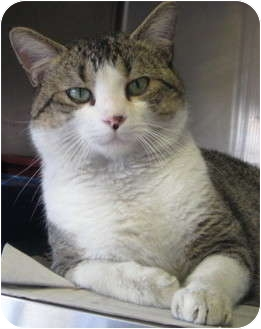 Domestic Shorthair Cat for adoption in Newberry, South Carolina - Jeff