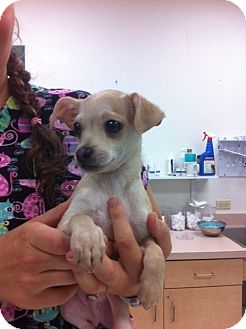 Chihuahua Puppy for adoption in Corpus Christi, Texas - Thomas