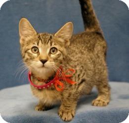 Domestic Shorthair Cat for adoption in Sacramento, California - Danny
