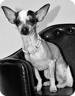 Xoloitzcuintle/Mexican Hairless Mix Dog for adoption in Bridgeton, Missouri - Apple-Adoption pending