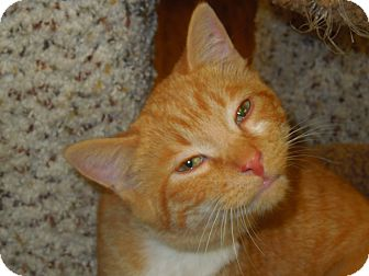 Domestic Shorthair Cat for adoption in Medina, Ohio - Yeller