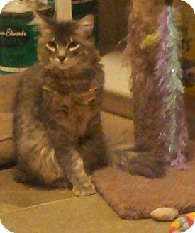Maine Coon Kitten for adoption in Chandler, Arizona - Smokey Joe