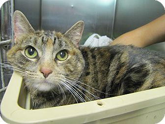 Domestic Shorthair Cat for adoption in Morristown, New Jersey - Tulip
