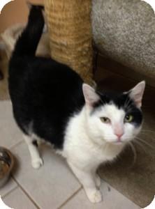 Domestic Shorthair Cat for adoption in Medford, Massachusetts - Darla