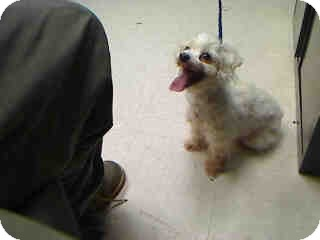 Maltese Mix Dog for adoption in Antioch, Illinois - Blizzard