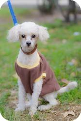 Toy Poodle Dog for adoption in Irvine, California - EDDIE