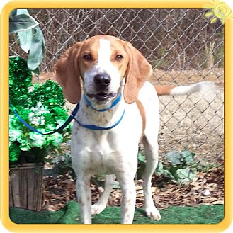 Redtick Coonhound Dog for adoption in Marietta, Georgia - LUKE (R)