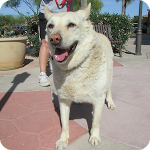 German Shepherd Dog Mix Dog for adoption in Gilbert, Arizona - Chase