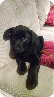Labrador Retriever/Mastiff Mix Puppy for adoption in Hainesville, Illinois - Odin