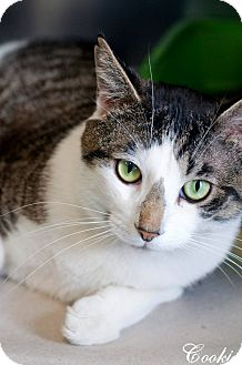 Domestic Shorthair Cat for adoption in Manahawkin, New Jersey - Cookie
