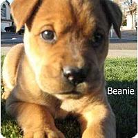 Adopt A Pet :: Beanie - Gilbert, AZ