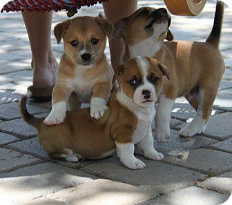 Basset Hound/Chow Chow Mix Puppy for adoption in Wellington, Florida - STEFFY