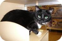 Domestic Shorthair Cat for adoption in Springfield, Pennsylvania - KC