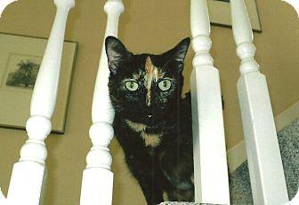 Domestic Shorthair Cat for adoption in Overland Park, Kansas - Loki