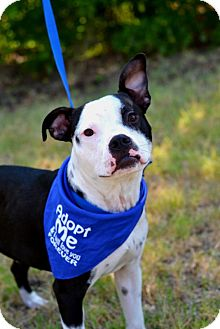 American Pit Bull Terrier Mix Puppy for adoption in Everman, Texas - Dallas