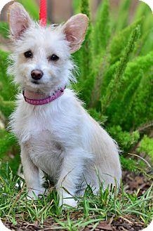 Terrier (Unknown Type, Medium) Mix Puppy for adoption in Santa Monica, California - Kaylee