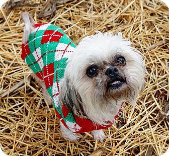Shih Tzu Mix Dog for adoption in Murphysboro, Illinois - LuLu
