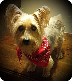 Silky Terrier Dog for adoption in Ashland City, Tennessee - Scout