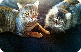 Domestic Shorthair Cat for adoption in New Kensington, Pennsylvania - Ricky & Toby