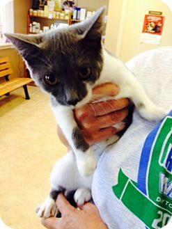 Domestic Shorthair Kitten for adoption in Troy, Ohio - Zahara