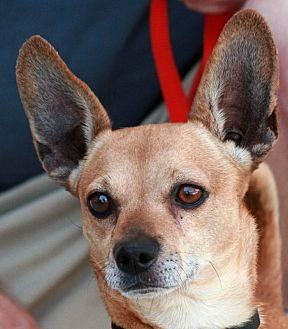 Chihuahua Mix Dog for adoption in Palmdale, California - Charlie