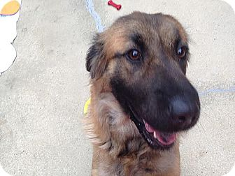 German Shepherd Dog Mix Dog for adoption in Lumberton, North Carolina - Roxie