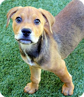 Catahoula Leopard Dog Mix Puppy for adoption in Ft. Lauderdale, Florida - Hazel