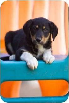 Rottweiler Mix Puppy for adoption in Portland, Oregon - Kaylee