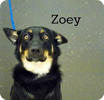 Shepherd (Unknown Type) Mix Dog for adoption in Defiance, Ohio - Zoey