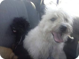 Havanese/Poodle (Miniature) Mix Dog for adoption in cupertino, California - ROKY needs asap FOSTER HOME