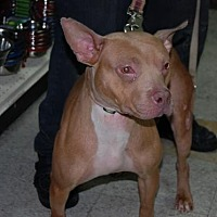 Adopt A Pet :: Amber - Brooklyn, NY