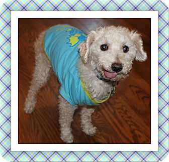 Bichon Frise Dog for adoption in Tulsa, Oklahoma - Adopted!! Winston - IL