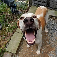 Adopt A Pet :: Boomer - Bremo Bluff, VA
