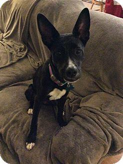 Basenji/Labrador Retriever Mix Dog for adoption in Westerville, Ohio - Abby