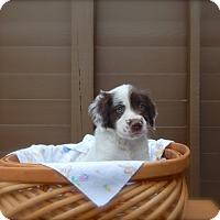 Adopt A Pet :: Blue-available 6/28 - Sparta, NJ