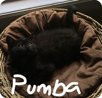 Domestic Shorthair Kitten for adoption in Randolph, New Jersey - Pumba- foster family delight!