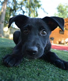 Labrador Retriever Mix Puppy for adoption in Mechanicsburg, Pennsylvania - Carrie