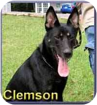 German Shepherd Dog Mix Dog for adoption in Aldie, Virginia - Clemson