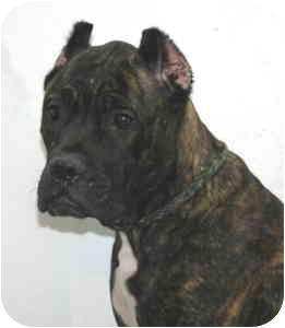 Cane Corso Mix Dog for adoption in Port Washington, New York - Daisy